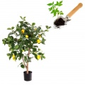 Saplings of fruit trees, shrubs and plants